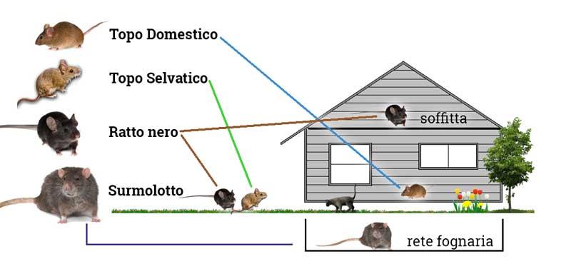 Derattizzazione disinfestazione ratti e topi varese - Come uccidere i topi in casa ...